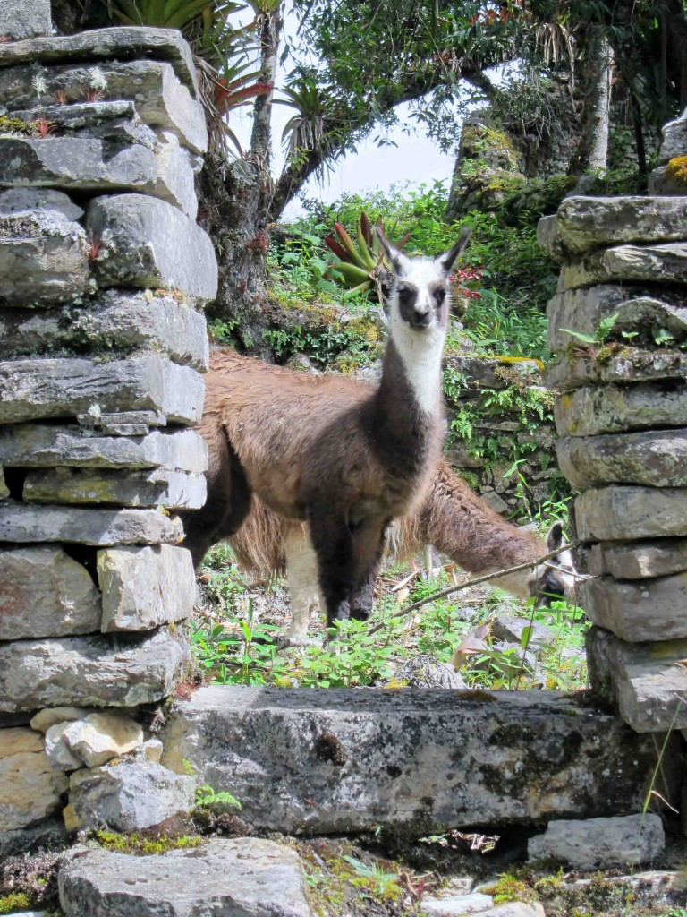 A llama peers through a doorway at Kuelap.